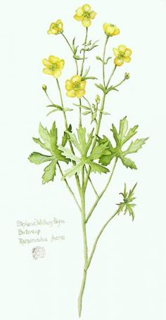 236x455 Image Result For Buttercup Drawing Voley Buttercup