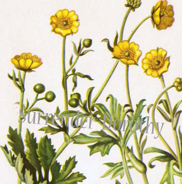 600x606 Meadow Buttercup Flower Ranunculus Acris Botanical Lithograph