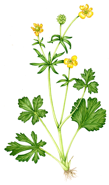 419x709 News Botanical Illustration Buttercup Ranunculus Species Uk