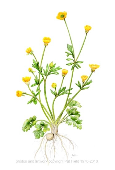 372x550 Untitled Document Buttercup Botanical Drawings