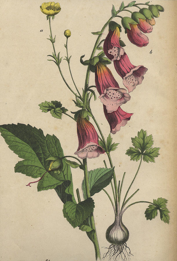 611x900 Foxglove And Buttercup Drawing By German Botanical Artist