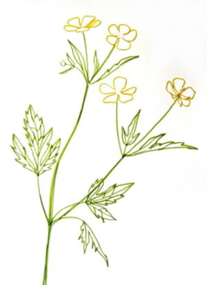 300x413 How To Draw A Buttercup Flower