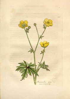 236x330 Meadow Buttercup, Field Flower Painting, Original Watercolor