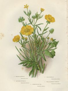 236x314 Meadow Buttercup Field Flower Fine Art By Verbruggewatercolor