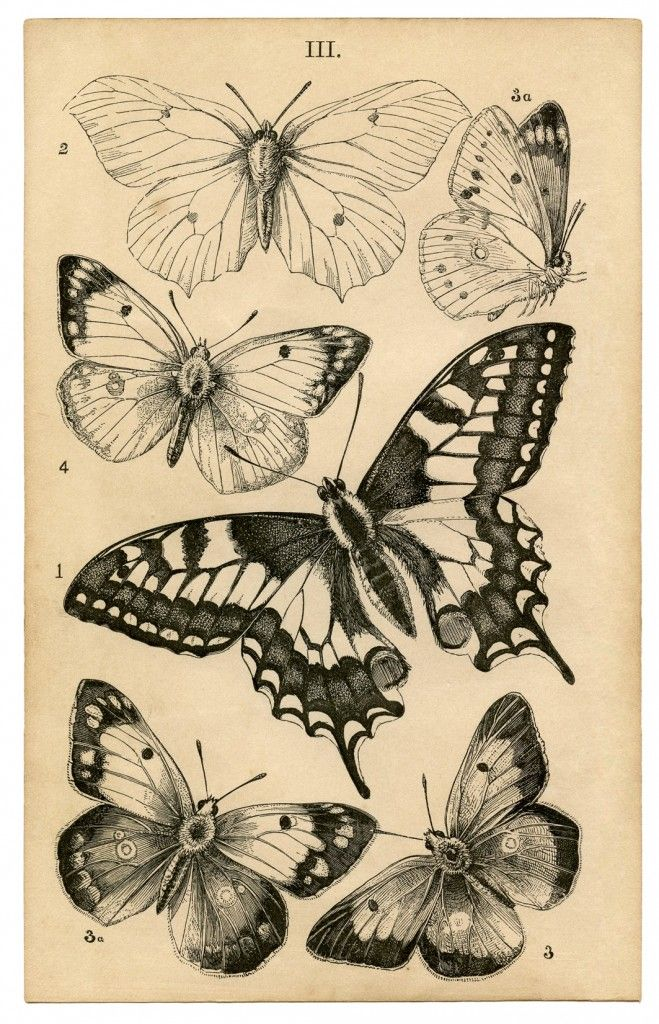 659x1024 Antique Butterfly Print