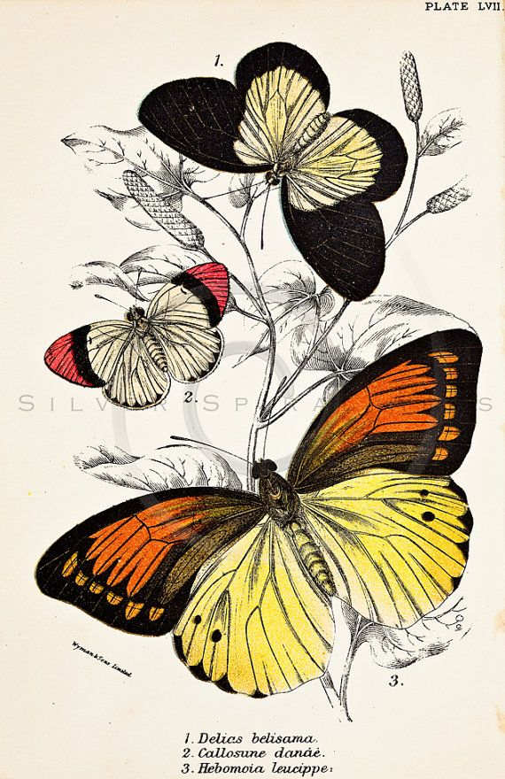 570x880 Vintage Butterflies Printable Illustration 1800s Antique Butterfly