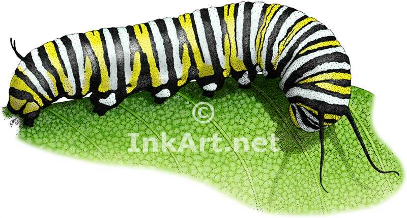 800x428 Monarch Butterfly Caterpillar Stock Art Illustration