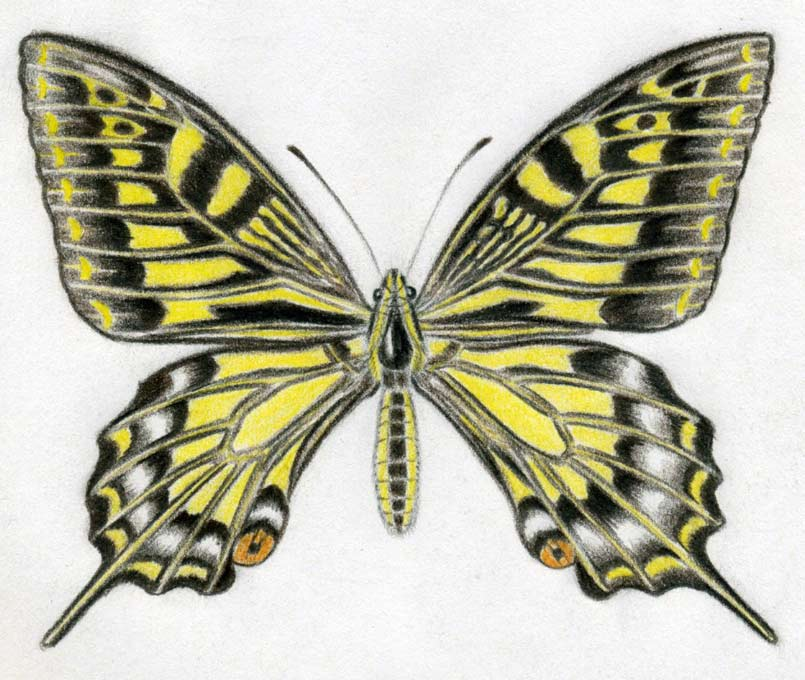805x680 how to draw a butterfly surprisingly easy - Butterflies To Color 2