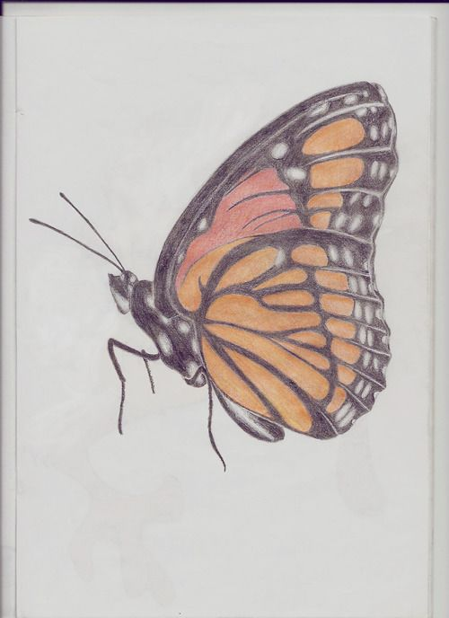 500x688 Butterfly Drawing Doodle Crazy Butterfly Drawing