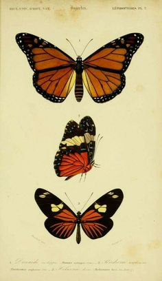 236x408 1869 Antique Butterfly Lithograph Butterfly, Antique Prints