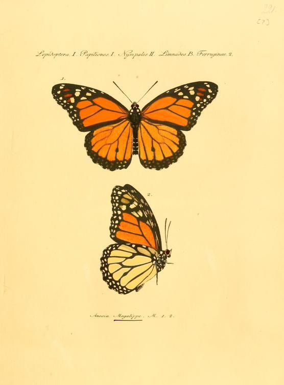 556x753 Butterfly botanical prints Monarch Butterfly From Butterflies By