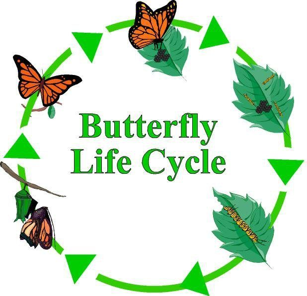 618x596 Stages A Man's Life Life Cycle A Butterfly Stages