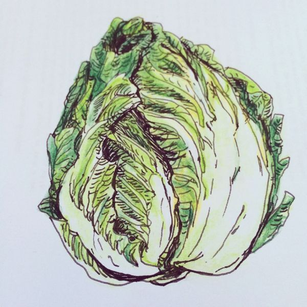 600x600 Image Result For Cabbage Drawing Cabbage Mania