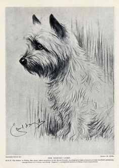 236x331 Cairns Rule! On Cairn Terriers, Shirley Temples