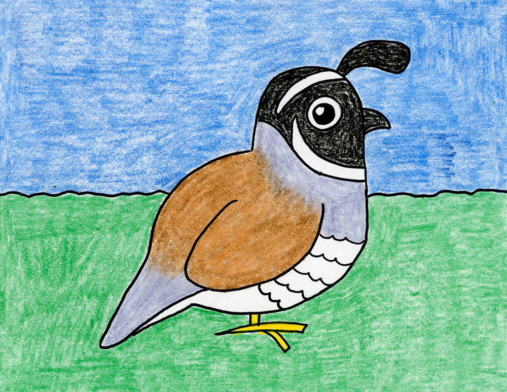 1000x773 Draw The California Quail State Bird