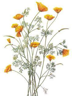 236x315 California Poppy Botanical Illustration