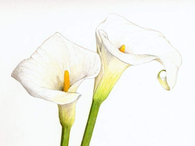640x481 Calla Lilies Drawing Eggeth Home Reference Ltbgtcalla Lilylt