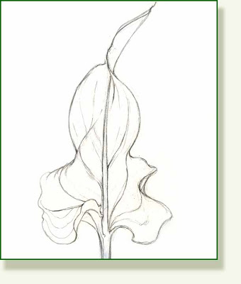 340x400 Pencil And Leaf Leaf Of The Day Calla Lily Leaf