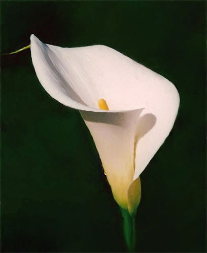 408x500 163 Beautiful Types Of Flowers + A To Z With Pictures Calla