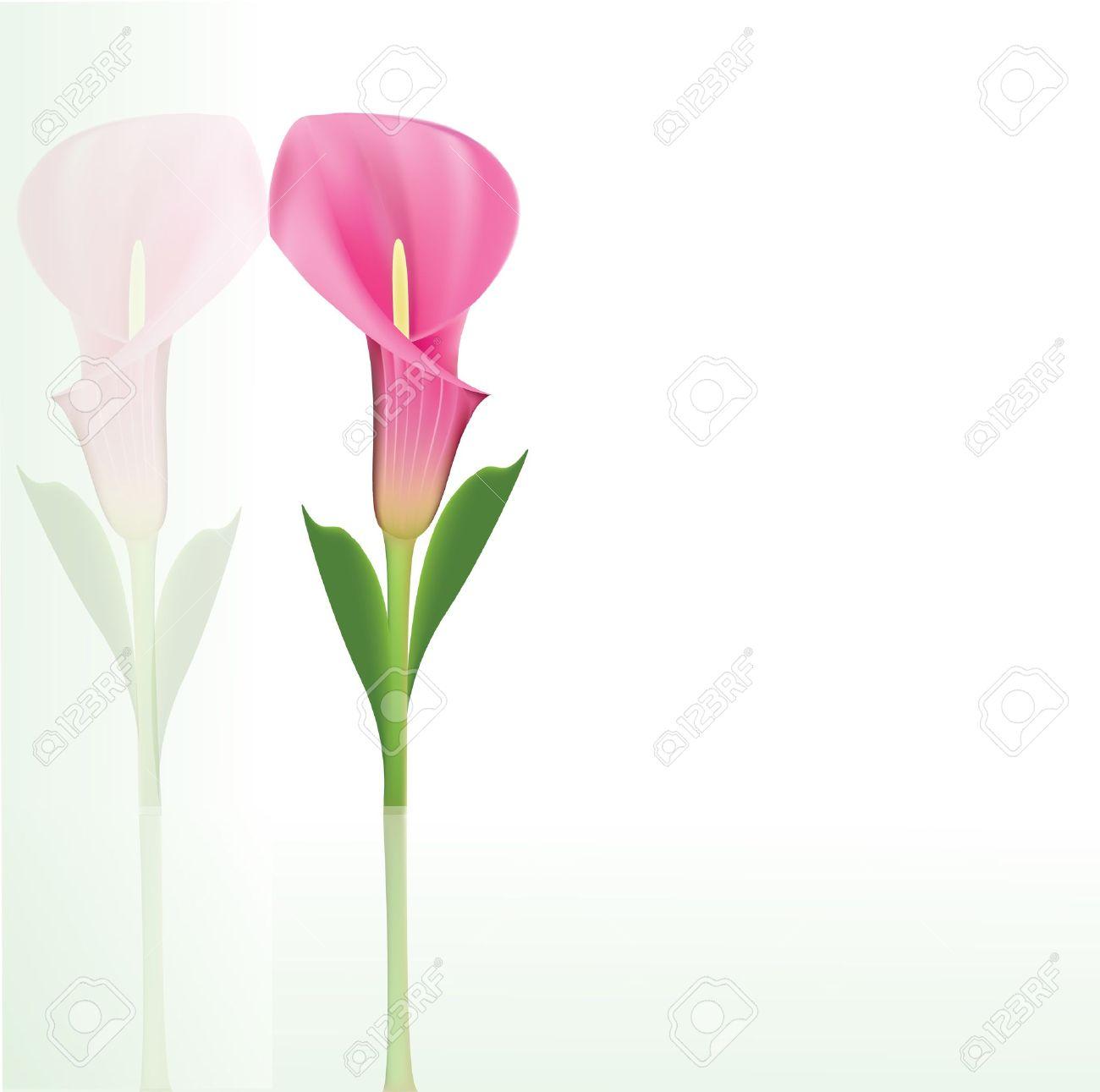 1300x1291 Beautiful Pink Calla Lily Royalty Free Cliparts, Vectors,