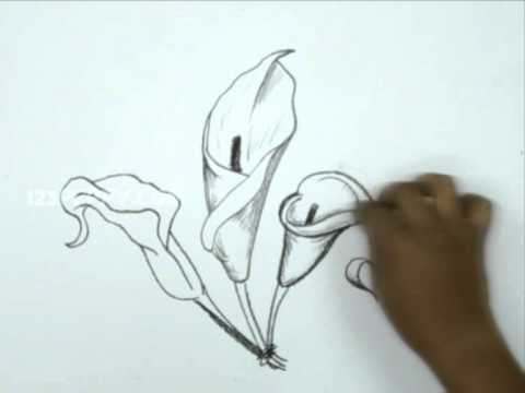 480x360 How To Draw A Calla Lily