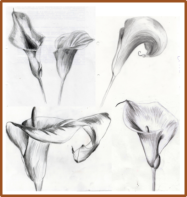 760x800 Weekly Doodles And Tuts How To Draw A Calla Lily Method 2