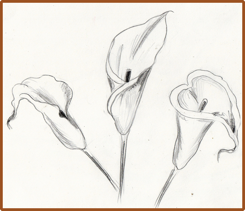 800x687 Weekly Doodles And Tuts How To Draw A Calla Lily Method 3