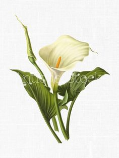 236x314 Calla Lily By Heather A. Mitchell Colored Pencil ~ 9 X 12