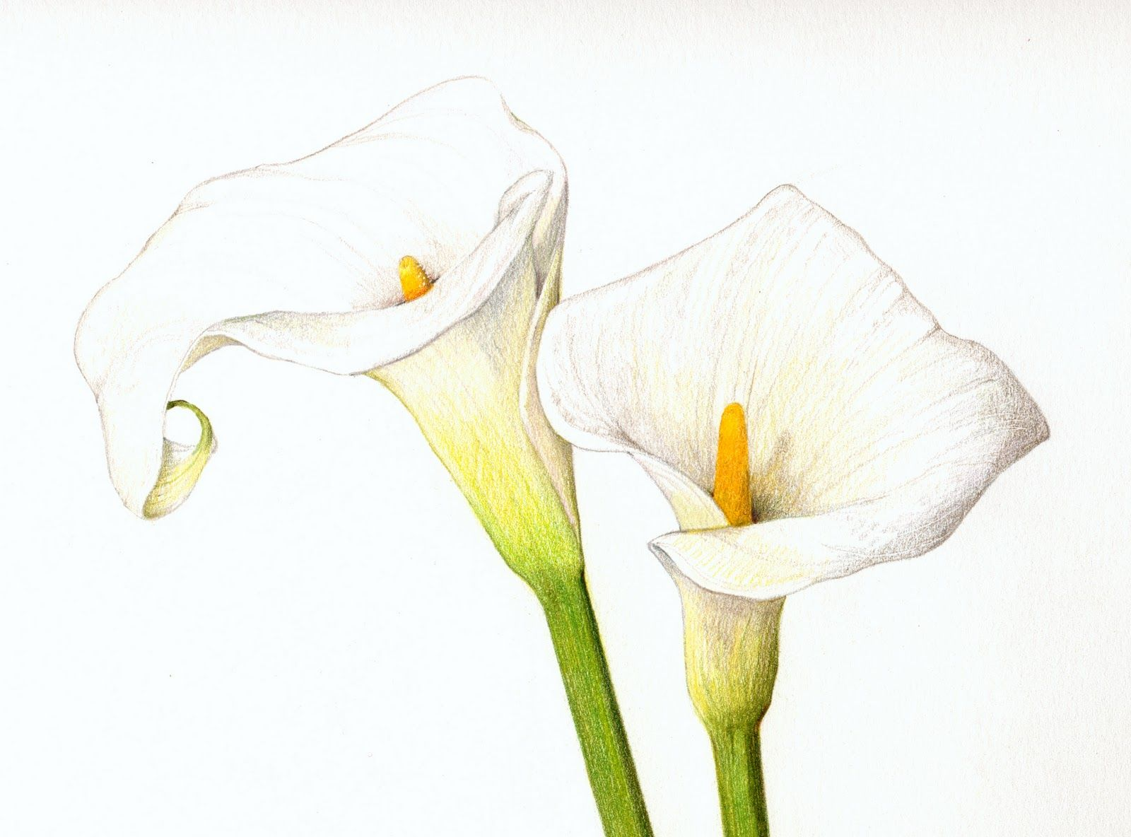 Calla lily pencil drawing at getdrawings free for personal use 1600x1184 color pencil calla lilies flowers pinterest calla lilies izmirmasajfo Image collections
