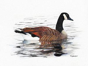 300x226 Canada Goose Drawings