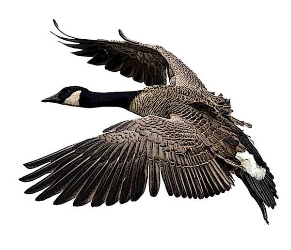 600x516 Canada Goose Branta Canadensis