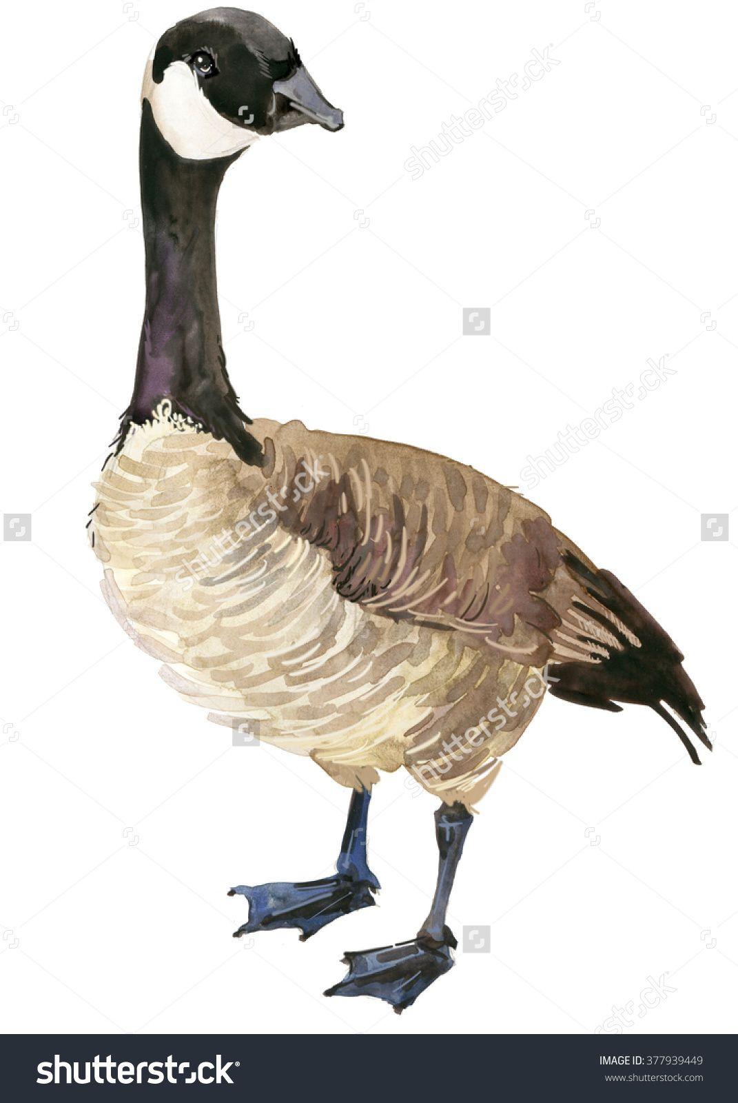 1071x1600 Canadian Goose Watercolor Drawing. Goose Bird Kaczki