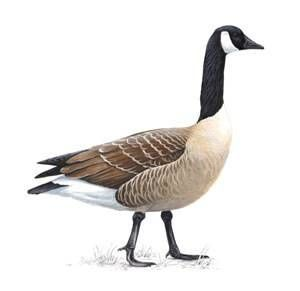 300x291 Canadian Geese Ideas Bird And Animal