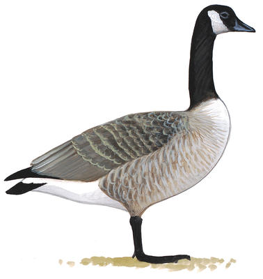 378x400 Differences Between Canada Goose And Cackling Goose Audubon