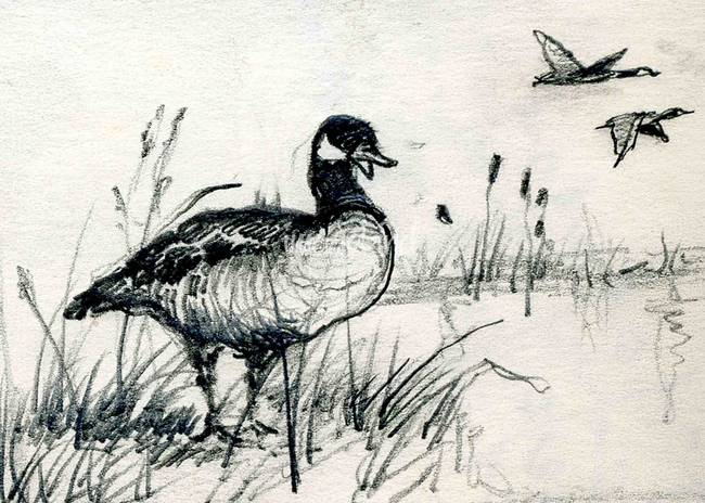 Coloring Pages Canadian Animals : Canadian geese drawing at getdrawings free for personal use