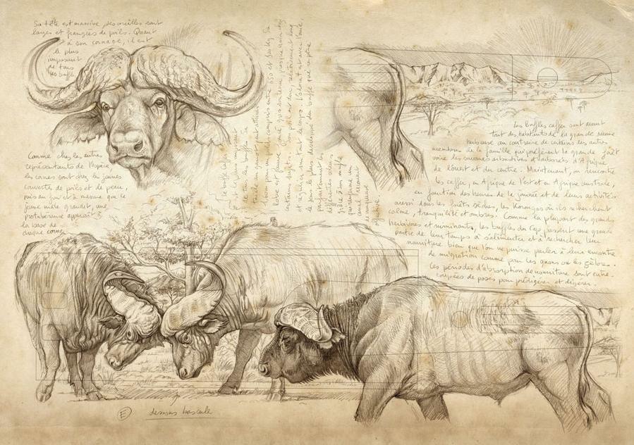 899x632 Cape Buffalo Drawing Amp Art Ideas Buffalo, Drawing