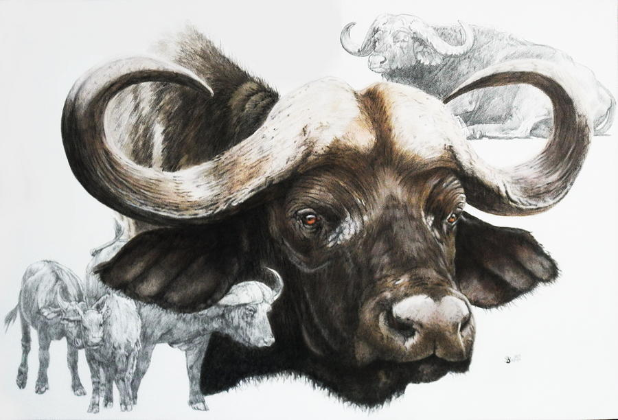 900x612 Cape Buffalo Drawing By Barbara Keith Art Buffalo