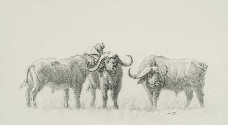 800x437 Cape Buffalo By John Banovich, 8x11 Graphite Sketch John