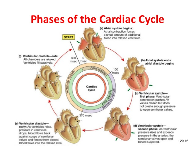 Cardiac Cycle Drawing At Getdrawings Free For Personal Use