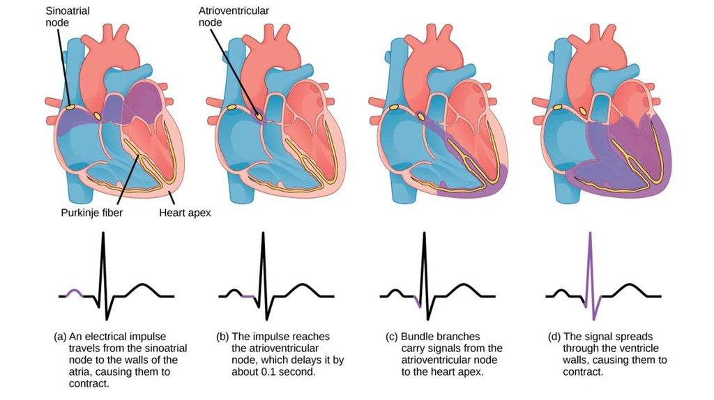 1024x574 The Cardiac Cycle And Ecg