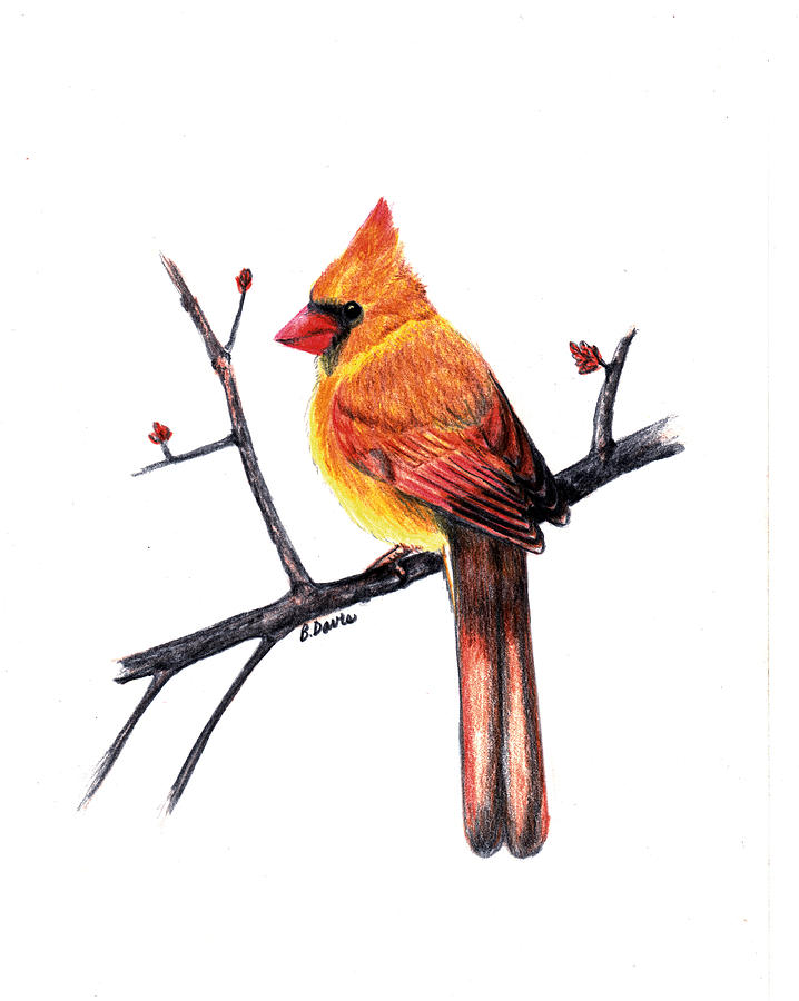 Bird Art print Little Cardinal 4 X 6 print  |Cardinal Bird Drawings
