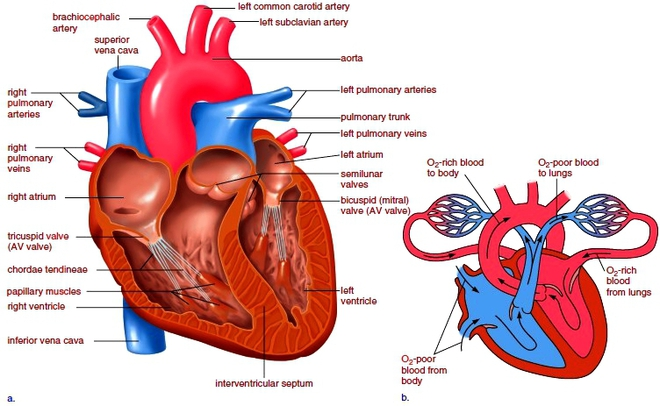 Cardiovascular System Drawing at GetDrawings.com | Free for personal ...