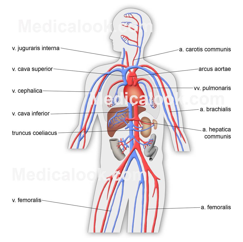 Cardiovascular System Drawing At Getdrawings Free For Personal