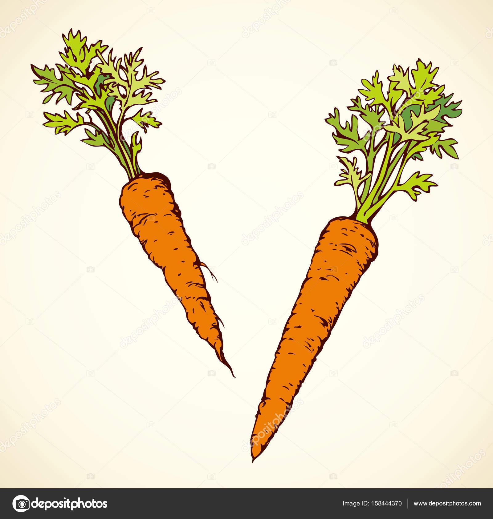 1600x1686 Carrot. Vector Drawing Stock Vector Marinka