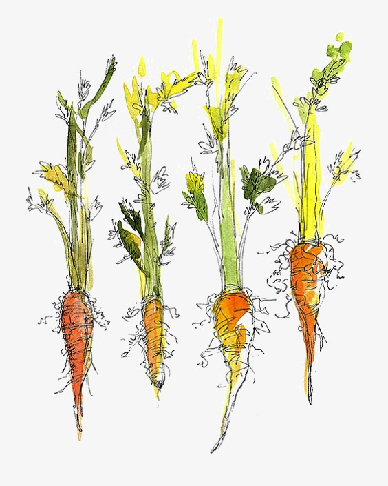 Carrots Drawing at GetDrawings com | Free for personal use