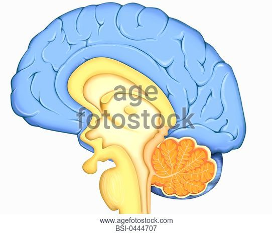 542x466 Brain, Drawing Anatomy Of Encephalon In Situation In