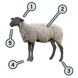 250x250 Drawing A Cartoon Sheep