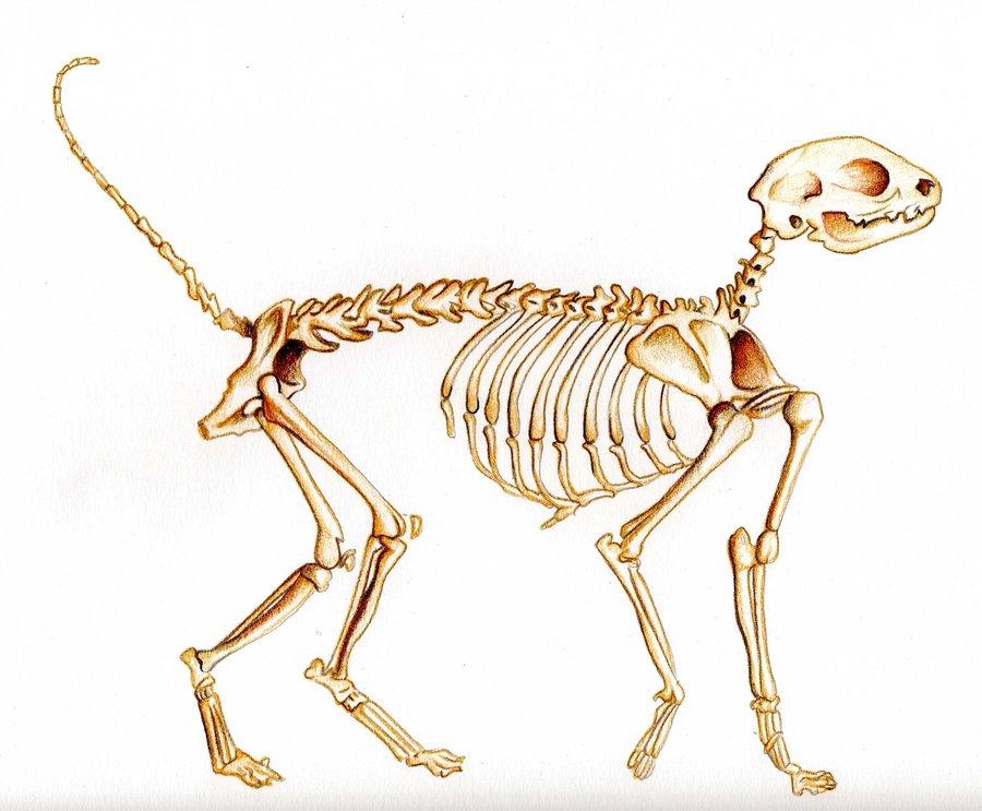 Cat Skeleton Diagram | Cat Skeleton Drawing At Getdrawings Com Free For Personal Use Cat