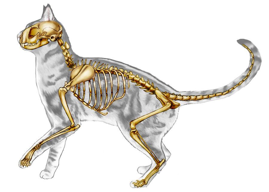 Cat Skeleton Drawing at GetDrawings.com | Free for personal use Cat ...