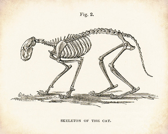 570x456 Cat Skeleton Cat Art Cat Picture Cat Drawing Skeleton